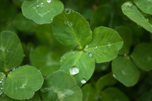 a drop on clover