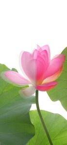 Lotus devided