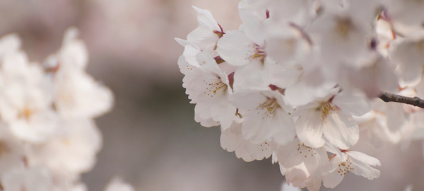 sakura full blooming 2015
